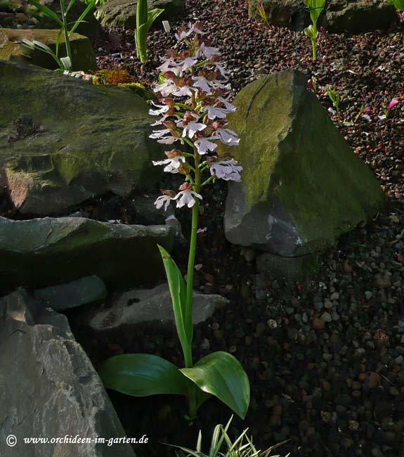 orchis purpurea. Black Bedroom Furniture Sets. Home Design Ideas